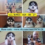 щеночки сибирской хаски .черно-белые голубоглазые