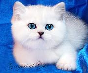 Британские серебристые котята шиншиллы с изумрудными,   сапфировыми глазками