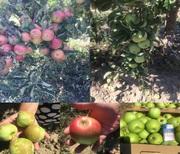 Яблоки оптом от производителя в Крыму
