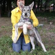 Щенки волчьей собаки (Saarloos Wolfdogs)