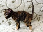 купить кошку уральский рекс неаллергенная