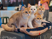Продажа породистых котят на выставках