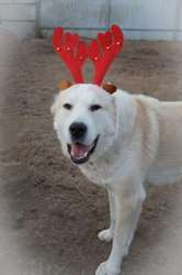 Собака в дар. Алабай,  среднеазиатская овчарка двух лет