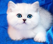 Британская шиншилла котята шоу класс