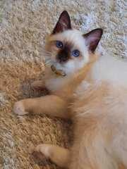 Священная бирма - котята