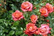 Саженцы роз и пионов