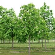 Саженцы лиственных и хвойных деревьев