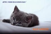 Клуб Любителей Кошек «LEGION» предлагает породистых котят.