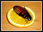 Мадагаскарские тараканы и Блаберусы