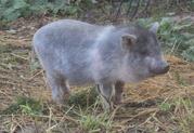 Вьетнамские свинки...