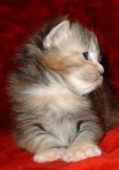 Мейн-кун котята!Маленькая рысь!
