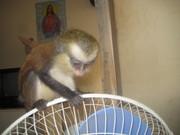 очаровательны обезьяна капуцин для принятия.