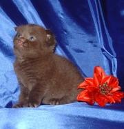 шотландские котята.Плюшевое счастье!